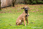 Four month old Rhodesian Ridgeback puppy sitting outside holding a stick in Issaquah, Washington, USA.  The Rhodesian ridgeback's distinguishing feature is the ridge of hair running along its back in the opposite direction from the rest of its coat.