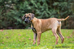Four month old Rhodesian Ridgeback puppy standing outside in Issaquah, Washington, USA.  The Rhodesian ridgeback's distinguishing feature is the ridge of hair running along its back in the opposite direction from the rest of its coat.