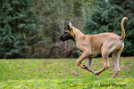 Four month old Rhodesian Ridgeback puppy running outside in Issaquah, Washington, USA.  The Rhodesian ridgeback's distinguishing feature is the ridge of hair running along its back in the opposite direction from the rest of its coat.