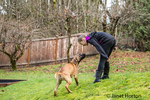 Four month old Rhodesian Ridgeback puppy seemingly conversing with a ten year old girl in Issaquah, Washington, USA