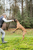 Four month old Rhodesian Ridgeback puppy jumping up to get a stick from his owner in Issaquah, Washington, USA