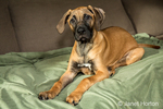 Four month old Rhodesian Ridgeback puppy reclining on a couch  in Issaquah, Washington, USA