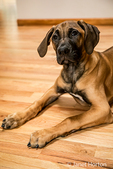 Four month old Rhodesian Ridgeback puppy reclining on a wooden floor in Issaquah, Washington, USA