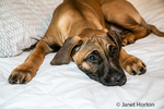 Four month old Rhodesian Ridgeback puppy reclining on his owner's bed in Issaquah, Washington, USA