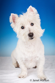 Portrait of Zipper, a Westie, sitting in a studio in Issaquah, Washington, USA