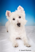 Portrait of Zipper, a Westie, reclining in a studio