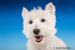 Close-up of Zipper, a Westie, looking happy in a studio