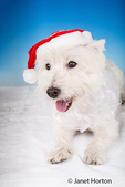 Portrait of Zipper, a Westie, wearing a santa hat in a studio in Issaquah, Washington, USA