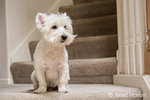 Zipper, a Westie, sitting by the stairs