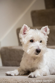 Zipper, a Westie, reclining by the stairs