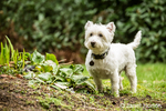 Zipper, a Westie, in a garden in a yard
