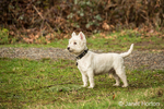 Zipper, a Westie,wet from playing in sopping wet grass, in a park