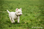 Zipper, a Westie, running playfully through the very wet grass at a park