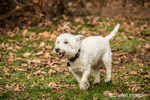 Zipper, a Westie, running playfully at the park