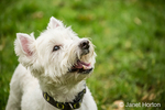 Zipper, a Westie, eagerly anticipating being given a treat