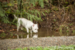 Zipper, a Westie, drinking water from a puddle
