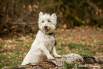 Zipper, a Westie, posing outside as he is about to hop onto a log