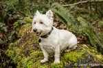 Zipper, a Westie, posing outside as he sits on a large moss-covered fallen tree
