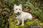 Zipper, a Westie, posing outside as he sits on a large moss-covered fallen tree in Issaquah, Washington, USA