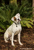 Nikita, a Boxer puppy, sitting in his yard next to a Western Sword Fern in Issaquah, Washington, USA
