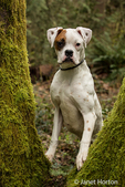 Nikita, a Boxer puppy, looking through the split trunk of a moss-covered tree in Issaquah, Washington, USA