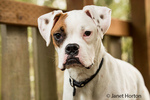 Nikita, a Boxer puppy,standing in a backyard playground playset in Issaquah, Washington, USA