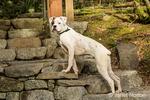 Nikita, a Boxer puppy, posing on some beautiful stone steps in Issaquah, Washington, USA