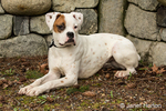 Nikita, a Boxer puppy, reclining beside a beautiful stone wall in Issaquah, Washington, USA