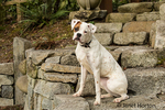 Nikita, a Boxer puppy, sitting on some beautiful stone steps in Issaquah, Washington, USA