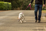 Man walking his Boxer puppy, Nikita, on a road in Issaquah, Washington, USA