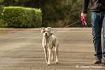 Man walking his Boxer puppy, Nikita, on a road in Issaquah, Washington, USA