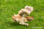 A Salmon Faverolles chicken was fleeing for its life as it was being chased by a mischievous puppy in his backyard in Issaquah, Washington, USA.  Faverolles are classified as a heavy breed and have a beard, muffs, feathered feet and five toes per foot, rather than the usual four.