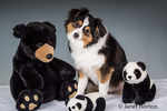 Miniature (or Toy) Australian Shepherd puppy posing with stuffed bears in Issaquah, Washington, USA