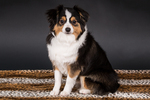 Miniature (or Toy) Australian Shepherd puppy in Issaquah, Washington, USA