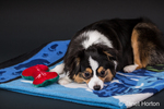 Miniature (or Toy) Australian Shepherd puppy reclining on a blanket with his toy stuffed bone in Issaquah, Washington, USA