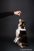 Miniature (or Toy) Australian Shepherd puppy being trained to jump up in Issaquah, Washington, USA