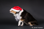 Miniature (or Toy) Australian Shepherd puppy perplexed over his Santa hat falling over his eyes, in Issaquah, Washington, USA