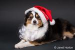 Miniature (or Toy) Australian Shepherd puppy reclining wearing his Santa hat in Issaquah, Washington, USA