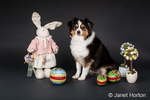 Miniature (or Toy) Australian Shepherd puppy posing amidst Easter decorations in Issaquah, Washington, USA