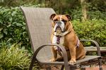 Tessa, the English Bulldog, sitting in a lawn chair in Issaquah, Washington, USA