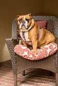 Tessa, the English Bulldog, looking regal sitting in a lawn chair on her patio in Issaquah, Washington, USA