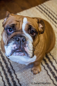 Humorous-looking Tessa, the English Bulldog, sitting on a rug, looking straight up, in Issaquah, Washington, USA