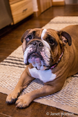 "Tessa, the English Bulldog, on a ""down"" and ""stay"" command, hopeful of a treat, in Issaquah, Washington, USA"