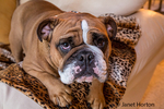 Tessa, the English Bulldog, enjoying some time on the family sofa, in Issaquah, Washington, USA