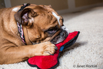 Tessa, the English Bulldog, playing with his bone-shaped toy at his home in Issaquah, Washington, USA