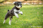 "Schnoodle puppy ""Junho"" running enthusiastically in his yard in Issaquah, Washington, USA"