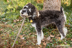 "Schnoodle puppy ""Junho"" chewing on a stick in his yard in Issaquah, Washington, USA"