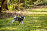 """Schnoodle puppy """"Junho"""" fetching a stick as he runs in his yard in Issaquah, Washington, USA"""