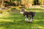 "Schnoodle puppy ""Junho"" enthusiastically running in his yard in Issaquah, Washington, USA"
