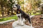 """Schnoodle puppy """"Junho"""" posing in his yard in Issaquah, Washington, USA"""
